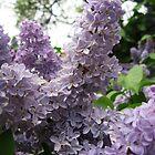Pretty Purple - Lilacia Park by mackography