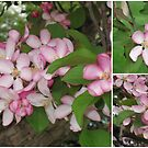 Our Glorious Flowering Crab Tree In All Its' Splendor! by Nanagahma