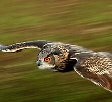 European Eagle Owl in Flight  by Dave  Knowles