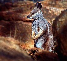 Rock Wallaby - Alice Springs by graphicscapes