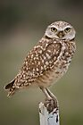 Burrowing Owl Portrait by Kathleen  Bowman