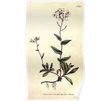 The Botanical magazine, or, Flower garden displayed by William Curtis V7 V8 1794 0021 Arabis Alpina, Alpine Wall Cress Poster
