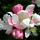Apple Blossom by hjaynefoster