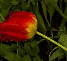 Last one tulip in the rain by hanne