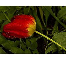 Last one tulip in the rain Photographic Print