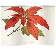 Familiar Flowers of India With Colored Plates, Lena Lowis 0081 Poinsettia Pulcherrima Poster