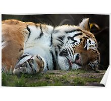 Resting Tiger - Howletts Zoo Poster