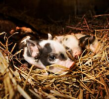 Miniature Pigs by Tristan Petts