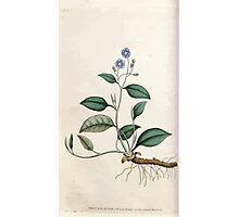 The Botanical magazine, or, Flower garden displayed by William Curtis V1 V2 1787 1789 0018 Cynoglossum Omphalodes, Blue Navelwort Photographic Print