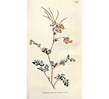 The Botanical magazine, or, Flower garden displayed by William Curtis V5 v6 1792 1793 0072 Fumaria Glauca, Glaucous Fumitory Photographic Print