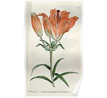 The Botanical magazine, or, Flower garden displayed by William Curtis V1 V2 1787 1789 0080 Lilium Bulbiferum, Orange Lilly Poster