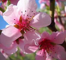Blooms and Blossoms.Peach. by Vitta