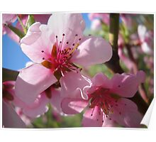 Blooms and Blossoms.Peach. Poster