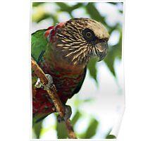 Hawk Headed Parrot 2 - Graeme Hall Nature Sanctuary, Barbados Poster