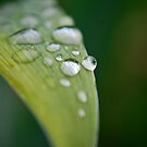 Raindrops on Iris Leaf by Michelle BarlondSmith