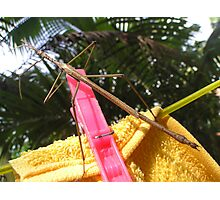 Hung Up Stick Insect  Photographic Print