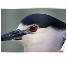 Night Heron Portrait - Graeme Hall Nature Sanctuary, Barbados Poster