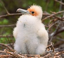 Magnificent Frigatebird chick by leksele