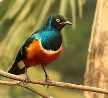 Superb Starling by Robert Abraham