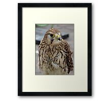 Harrier Framed Print