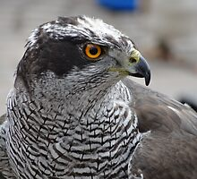 Goshawk by Caroline Smalley