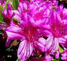 Pink Azaleas by barnsis