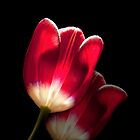 Red Tulips by bettywiley