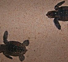 Hawksbill Hatchlings   by MikeyRap