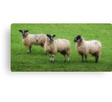 We Three Sheep Canvas Print