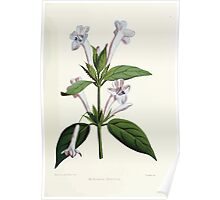 Familiar Flowers of India With Colored Plates, Lena Lowis 0117 Barleria Cristata Poster