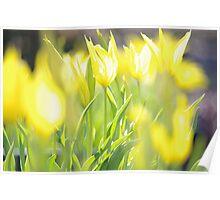 Yellow Tulip Glow Poster