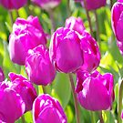 Tulips by Mark Wilson