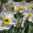 White & Yellow Daffodils by Mark Wilson