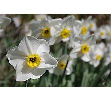 White & Yellow Daffodils Photographic Print