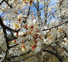 Apple Blossom Bokeh by Lynn Armstrong