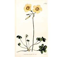 The Botanical magazine, or, Flower garden displayed by William Curtis V7 V8 1794 0043 Oxalis caprina, Goat's Foot Wood Sorrel Photographic Print