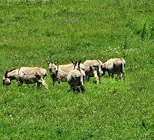 Donkeys in a Sea of Grass by WarfareFX
