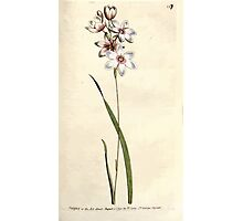The Botanical magazine, or, Flower garden displayed by William Curtis V3 V4 1790 1791 0118 Ixia Flexuosa, Bending Stalked Ixia Photographic Print