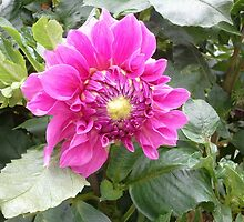 In the Dahlias 20 by Ecologie-Silvia