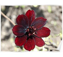 Chocolate Cosmos Flower Poster
