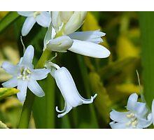 """White"" Blue Bells Photographic Print"