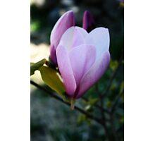 Magnolia Bloom Opening Photographic Print