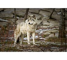 Timber Wolf on Guard Photographic Print
