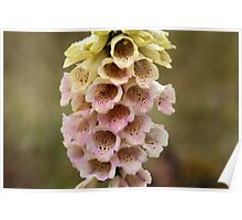 Common Foxclove Flowers Poster