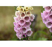 Common Foxclove Flowers Photographic Print