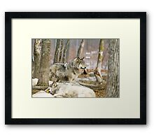 Watchful Timber Wolf Framed Print