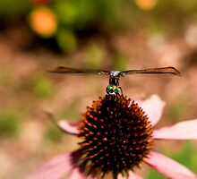 Dragon Fly  by Linda Denham