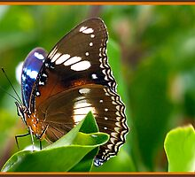 Butterfly , Mission Beach NQ by Susan Kelly