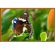 Butterfly , Mission Beach NQ Photographic Print