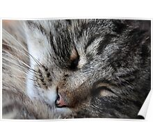 A sleeping Norway Forest Cat.  Poster